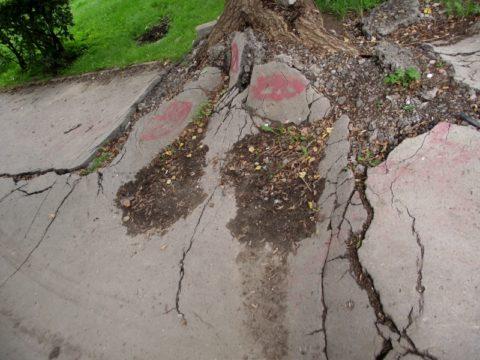 Корни дерева поднимают асфальт